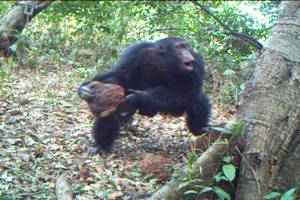 Chimpanzee West Africa