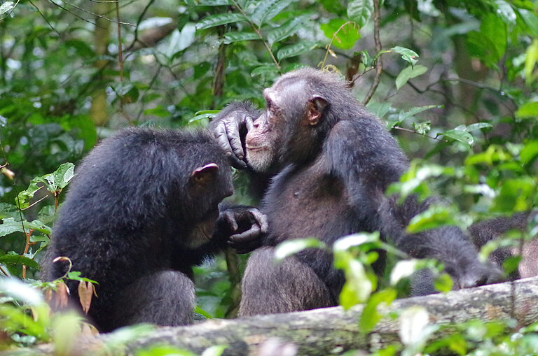 Woodstock_and_Shogun_grooming__c__Roman_Wittig__Tai_Chimpanzee_Project.JPG