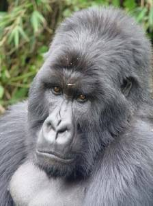 photo Virunga mountain gorilla, silverback