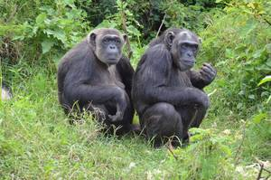 Chimpanzees in Kenya