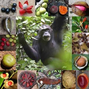 Chimpanzee and fruit