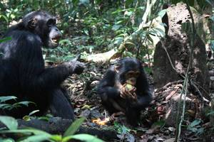 female chimpanzees