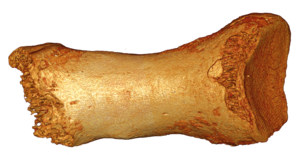 Neandertal toe bone