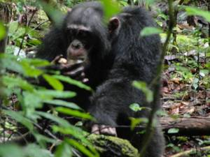 Adult chimpanzee