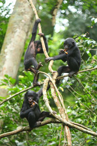 © Zanna Clay/ LuiKotale Bonobo Research Project