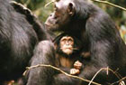 group of wild chimpanzees