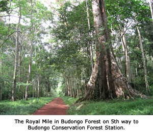 Royal-Mile-Budongo-Forest.jpg