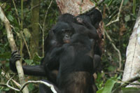 Bonobos interact